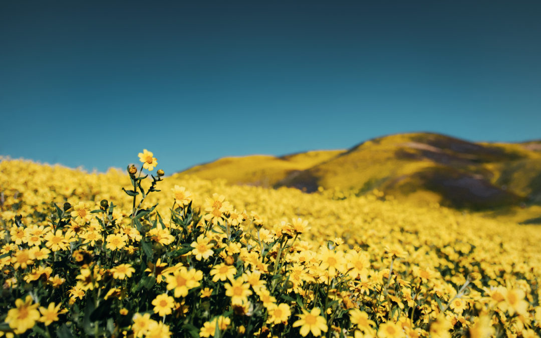 Yellow Flower in Field